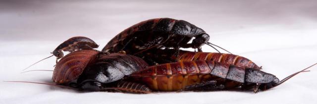 Cockroach Family 1